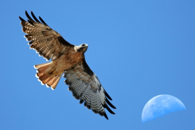 RED TAIL HAWK 1